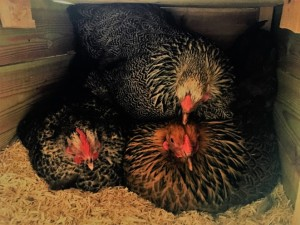 Three chicks