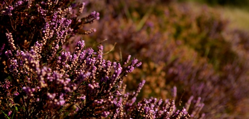 Dunwichheather