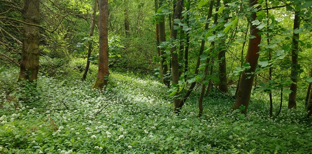 Dollops wood wild garlic