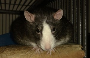 Badger rattie