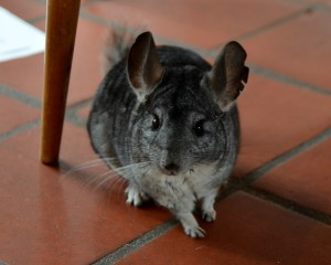Solo the chinchilla