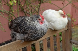 Poppy and Lily the chickens