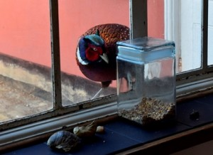 Pheasant eyeing up the bird seed