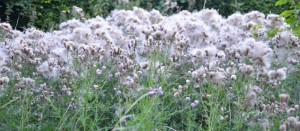 Thistles in seed