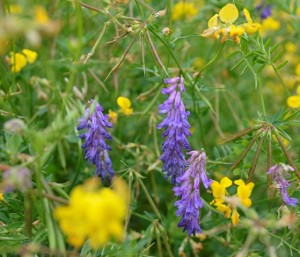 Tufted vetch amongst meadow vetchling