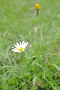 Ox-eye daisy and cats ear