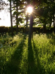 Cow parsley in the evening sun